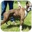 Photo 1 - Boxer Dog for adoption in North Judson, Indiana - Dozer