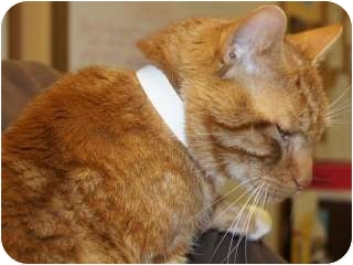 Domestic Shorthair Cat for adoption in Libby, Montana - Leo