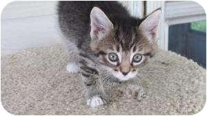 Domestic Shorthair Kitten for adoption in Warren, Michigan - Sox