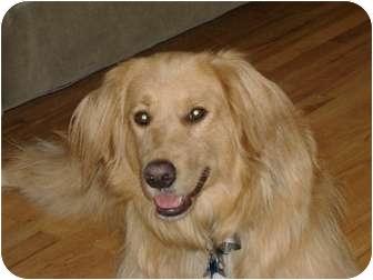 Golden Retriever Dog for adoption in Denver, Colorado - Annie