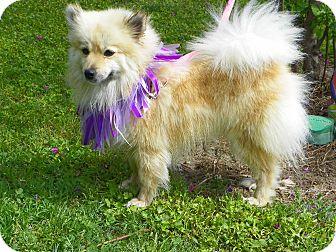 Pomeranian/Spitz (Unknown Type, Small) Mix Dog for adoption in Hesperus, Colorado - ELISE
