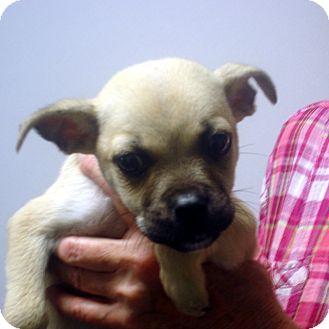 Pug/Boxer Mix Puppy for adoption in Manassas, Virginia - oliver