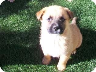 Shepherd (Unknown Type)/Australian Shepherd Mix Puppy for adoption in Tustin, California - Deja