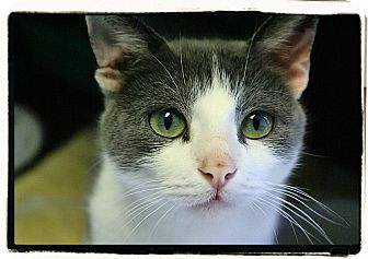 Domestic Shorthair Cat for adoption in Elmwood Park, New Jersey - Jazzy
