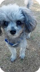 Poodle (Miniature) Dog for adoption in Las Vegas, Nevada - Peanut