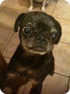 Pug Dog for adoption in Austin, Texas - Gucci