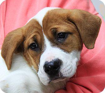 St. Bernard Mix Puppy for adoption in Stamford, Connecticut - Gigi