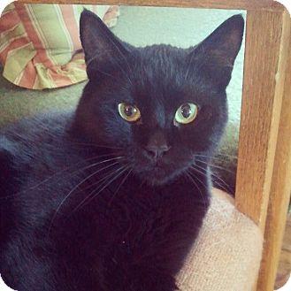 Domestic Shorthair Cat for adoption in Buena Vista, Colorado - Midnight