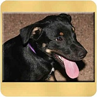 Adopt A Pet :: Dru - Scottsdale, AZ