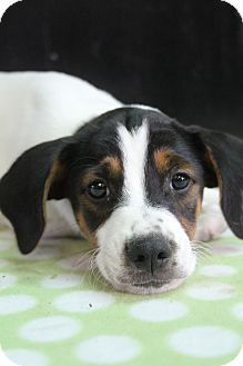 Australian Shepherd/English Pointer Mix Puppy for adoption in Bedminster, New Jersey - Slate