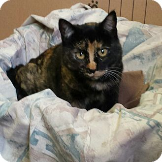 American Shorthair Cat for adoption in Jemez Springs, New Mexico - Khalee