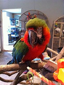 Macaw for adoption in Blairstown, New Jersey - Carlos - harlequin