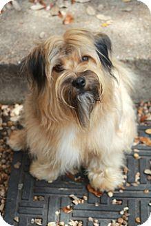 Tibetan Terrier/Lhasa Apso Mix Dog for adoption in Norwalk, Connecticut - Shiloh -adoption pending