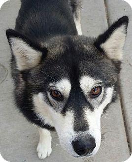 Siberian Husky Mix Dog for adoption in Apple valley, California - Venus