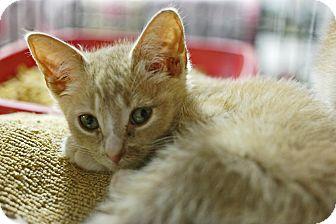 Domestic Shorthair Kitten for adoption in Trevose, Pennsylvania - Roughy