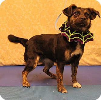 Feist/Chihuahua Mix Dog for adoption in Smithfield, North Carolina - Lulabelle