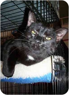Domestic Shorthair Kitten for adoption in Honesdale, Pennsylvania - Abby