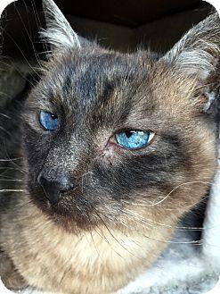 Siamese Cat for adoption in Nashville, Tennessee - Phoenix 2