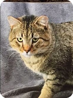 Domestic Shorthair Cat for adoption in Marble Falls, Texas - Hercules
