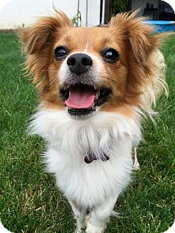 Pomeranian/Papillon Mix Dog for adoption in Mentor, Ohio - WILLOW**2 YRS OLD & 11 lbs!!!