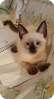 Siamese Kitten for adoption in Ocala, Florida - Princess Leah