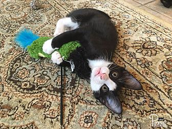 Domestic Shorthair Kitten for adoption in Spring Branch, Texas - Smith