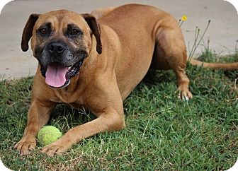 Boxer Mix Dog for adoption in Pinehurst, North Carolina - Champ-Adoption Pending