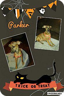Italian Greyhound Mix Puppy for adoption in Springtown, Texas - Parker