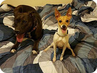Boxer/Labrador Retriever Mix Dog for adoption in Carlsbad, California - Vixien