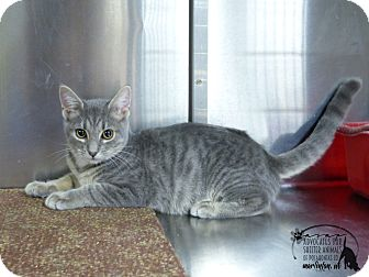 Domestic Shorthair Cat for adoption in Marlinton, West Virginia - Todd--RESCUED!