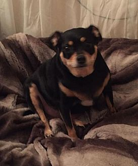 Miniature Pinscher/Chihuahua Mix Dog for adoption in Baton Rouge, Louisiana - Junior