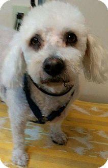 Bichon Frise Mix Dog for adoption in Thousand Oaks, California - Harley