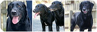 Labrador Retriever Dog for adoption in Forked River, New Jersey - Rusty & Anubis