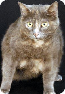 Domestic Shorthair Cat for adoption in Newland, North Carolina - Rachel