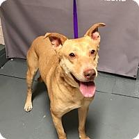 Adopt A Pet :: GLADDIE - Tucson, AZ