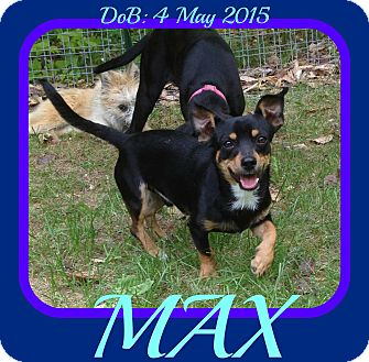 Chihuahua/Miniature Pinscher Mix Dog for adoption in Manchester, New Hampshire - MAX