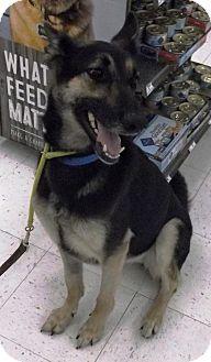 German Shepherd Dog Dog for adoption in Evergreen Park, Illinois - Piper