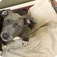 Adopt A Pet :: Gal - Philadelphia, PA