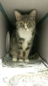 American Shorthair/Domestic Shorthair Mix Cat for adoption in Fort Dodge, Iowa - Bonnie