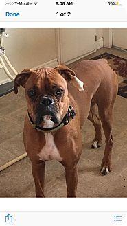 Boxer Dog for adoption in Ogden, Utah - Rye