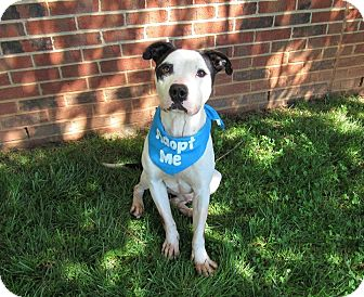 American Pit Bull Terrier Mix Dog for adoption in Lexington, North Carolina - Little Man
