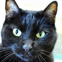 Domestic Shorthair/Domestic Shorthair Mix Cat for adoption in Ponderay, Idaho - Rose Bud