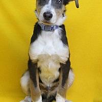 Adopt A Pet :: Leon - Westminster, CO