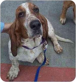 Basset Hound Mix Dog for adoption in Marietta, Georgia - Grannybelle