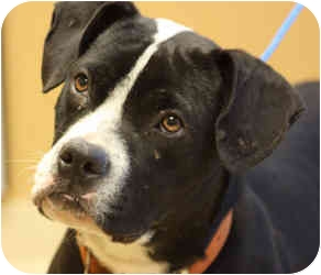 Pit Bull Terrier Mix Dog for adoption in Marion, Arkansas - Toby