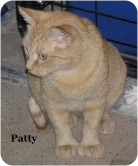 Hemingway/Polydactyl Cat for adoption in Catasauqua, Pennsylvania - Patty