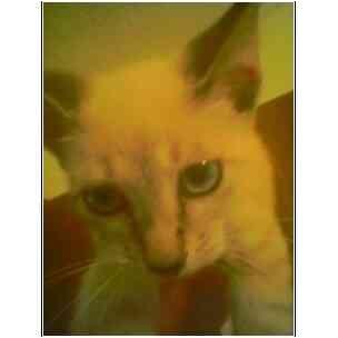 Siamese Kitten for adoption in Owasso, Oklahoma - Boxman