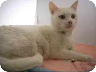 Domestic Shorthair Cat for adoption in North Charleston, South Carolina - Annabelle