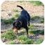 Photo 4 - Beagle Mix Dog for adoption in Bluffton, South Carolina - Gordi
