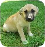 Shepherd (Unknown Type)/Hound (Unknown Type) Mix Puppy for adoption in Portland, Maine - Sage